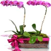 Orquidea Dupla