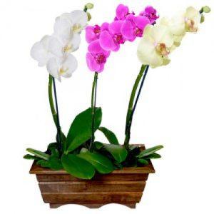trio orquideas