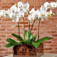 Orquidea Supreme