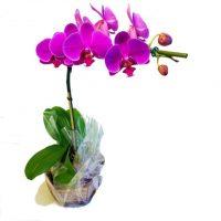 orquidea lilás