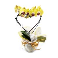 orquidea coração amarela